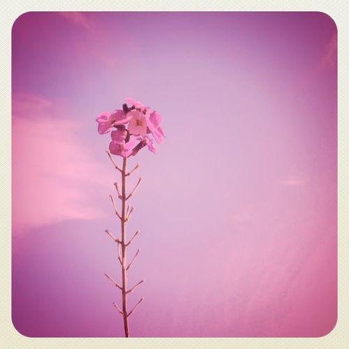 #pink #flower #sky #earlybirdlove #jj_forum #jj Alaniskopop Flower Sky Pink Popular Jj  200likes Earlybirdlove Jj_forum Popularpage Alaniskominimal