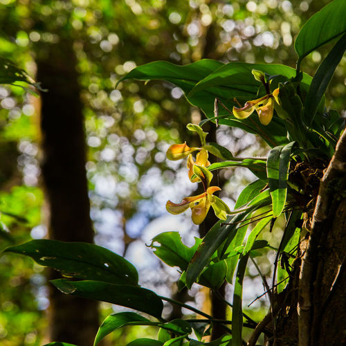 Lady's Slipper orchid on tree Orchid Tree Beauty In Nature Branch Close-up Day Flower Focus On Foreground Forest Fragility Freshness Green Color Growth Lady's Slipper Leaf Low Angle View Nature No People Outdoors Paphiopedilum Plant Tree