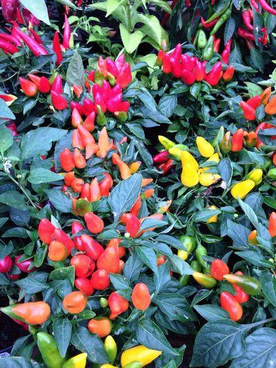 Chillis Colours Plant