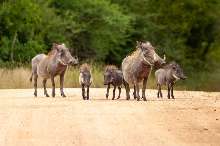 Road hogs - warthog family group, adults and young, standing on a dirt road in kruger national park
