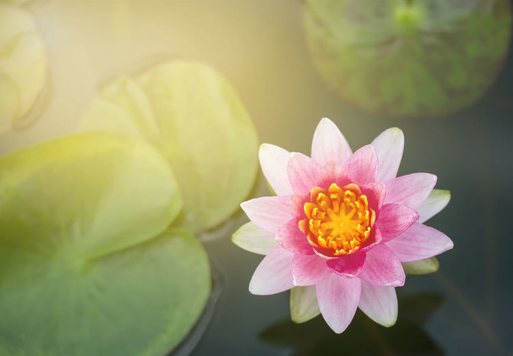 Beautiful lotus in the pond Green Green Color Close-up Day Flower Flower Head Flowering Plant Leaf Lotus Lotus Water Lily Nature Petal Pink Color Plant Summer Water Yellow