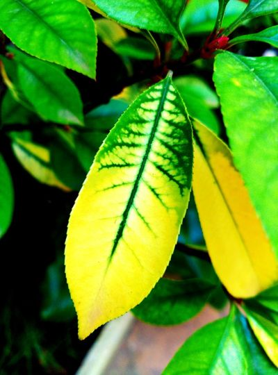 Acuarelas naturales Green Color Leaf Growth Nature Yellow Beauty In Nature Leaves🌿 Beauty Strange Forms Of Nature Autumn🍁🍁🍁 Leavesporn Nature_perfection Leaves 🍁 Leaves_collection