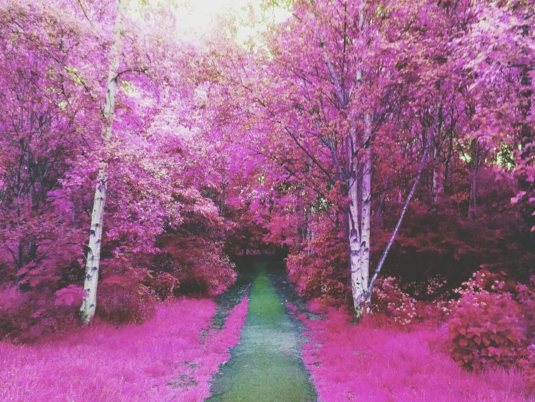The path to heaven. Tree Pink Color Beauty In Nature Nature The Way Forward Outdoors Tranquility Walkway Illuminated Freshness Fragility Live For The Story The Great Outdoors - 2017 EyeEm Awards Fresh On Eyeem  Scenics Nature Adventure Edit Edited My Way Editorial Photography PhonePhotography Phonecamera Doogee Breathing Space
