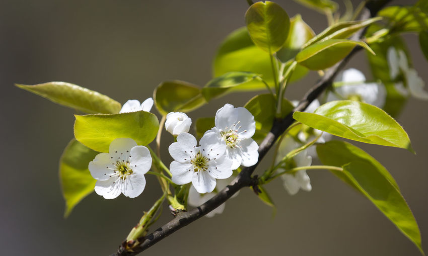 pear flower Beauty In Nature Blossom Day Flower Flower Head Nature No People Petal