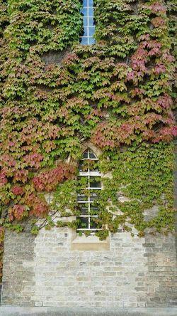 Ivywall Ivy Wall Ivyleaves Green Justaroundthecorner