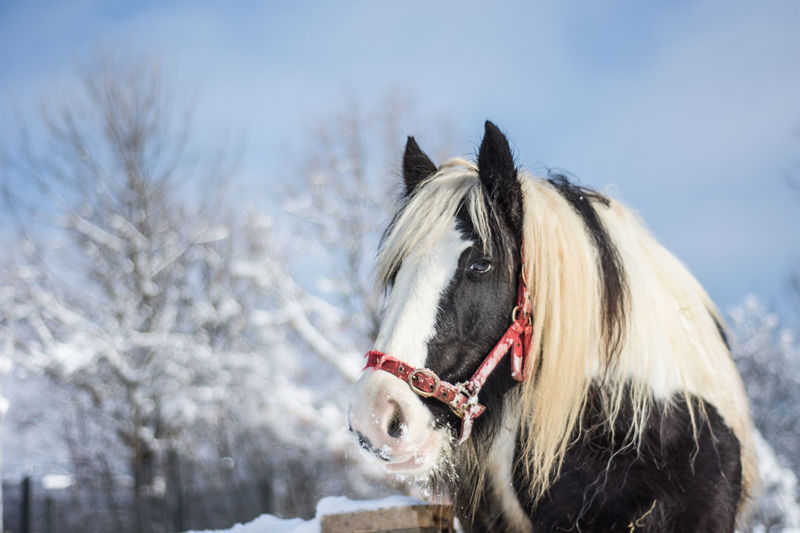 Animal Animal Body Part Animal Head  Animal Themes Bridle Close-up Day Domestic Animals Horse Mammal Nature No People One Animal Outdoors Sky Winter