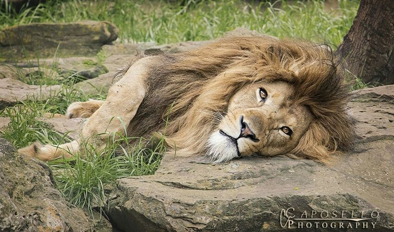 Boss Man Hanging Out Lion King  Lion Caposello Photography Canon 7D MarkII Canonforlife Zoo Fort Worth Texas Enjoying Life