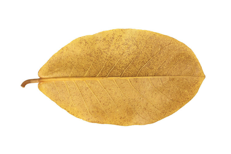 Directly above view of yellow leaf against white background