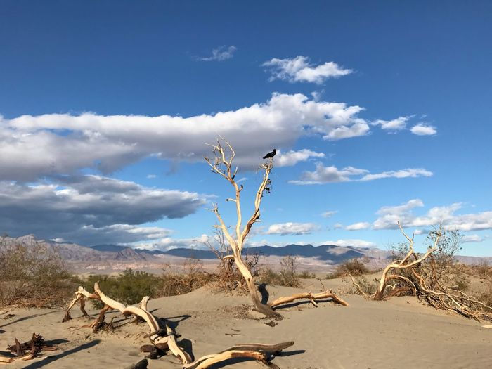 Crow on a branch in Death Valley, March 2018. Death Valley National Park Travel Hiking Crow Desert Sky Cloud - Sky Nature Day Outdoors Beauty In Nature Sand