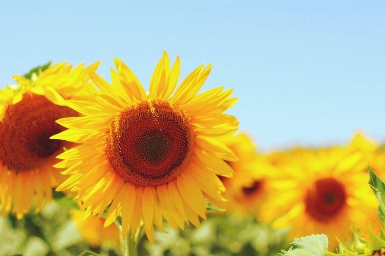 Taking Photos Sunflower Yellow Mutlubayramlar