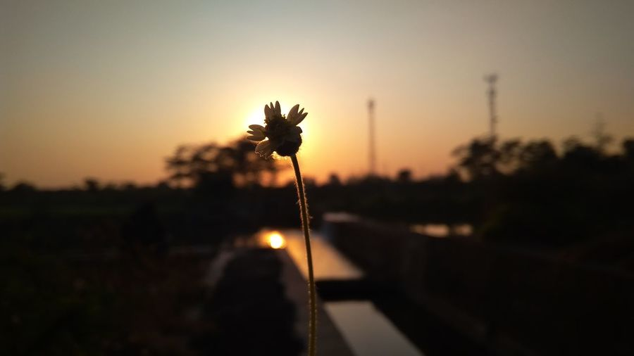 Close-up of silhouette flowering plant against sunset sky