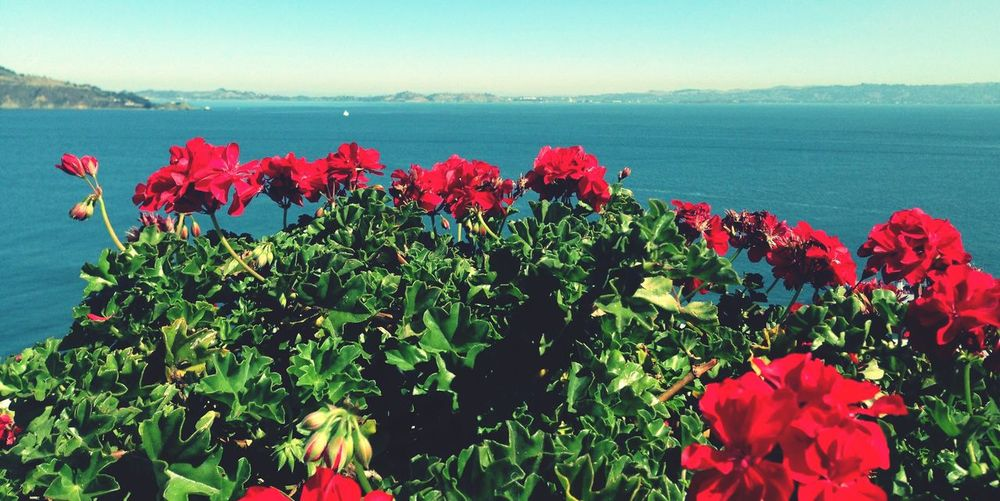 🌹🌺🌹🌺 Flower Beauty In Nature Nature Growth Red Petal Plant Sea Water Scenics Blooming Fragility Day Flower Head No People Tranquil Scene Tranquility Freshness Leaf Outdoors Sky Clear Sky From My Point Of View Travel Destinations Beautiful Nature