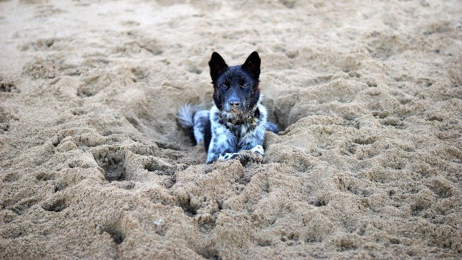 Portrait Of Dog Relaxing At Beach
