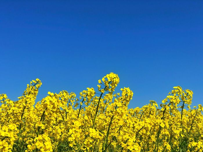 Field Colza Rapeseed Yellow Nature Sky Horizon Blue Plant Beauty In Nature Flower Clear Sky Flowering Plant Freshness Environment Oilseed Rape Scenics - Nature Day Copy Space Springtime Agriculture Growth No People Landscape Vibrant Color Outdoors