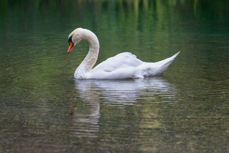 Swan gliding