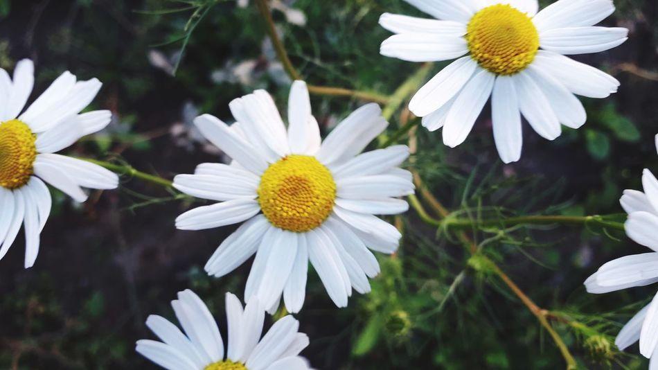 Flower Head Flower Multi Colored Petal Summer Springtime Pollen White Color Flowerbed Stamen