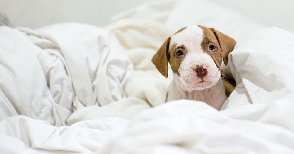 Cute Dog Domestic Animals Pets Pitbull Portrait Puppies Puppy