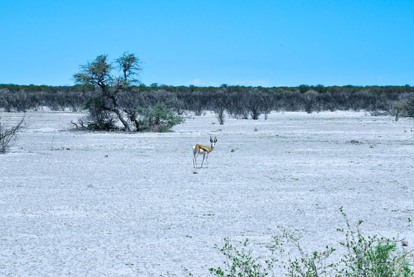Animal Themes Animals In The Wild Beauty In Nature Blue Clear Sky Day Domestic Animals Full Length Grass Landscape Mammal Nature No People One Animal Outdoors Scenics Sky Springbok Tree Water