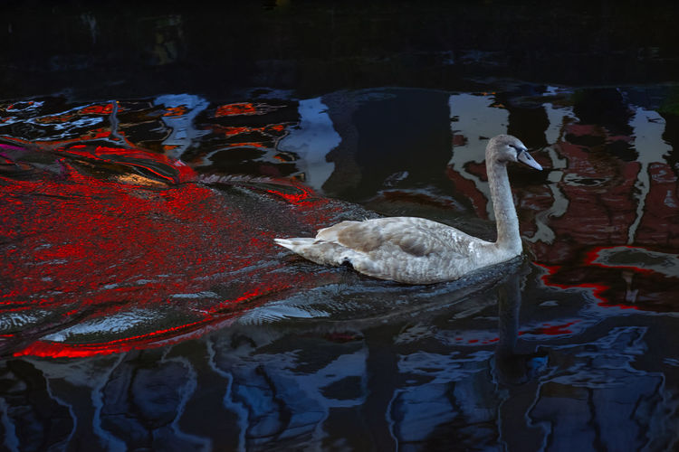 Swan in Amsterdam Amsterdam Channel City City Life Cityscape Nederland Netherlands Swans Animal Animal Themes Bird Floating On Water Lake No People Reflection Swan Swimming Water Waterfront