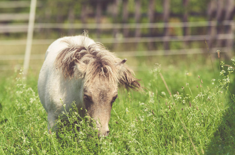 Animal Animal Themes Buckskin Cute Domestic Animals Field Foal Grass Green Color Horse Little Minipony Nature Pony