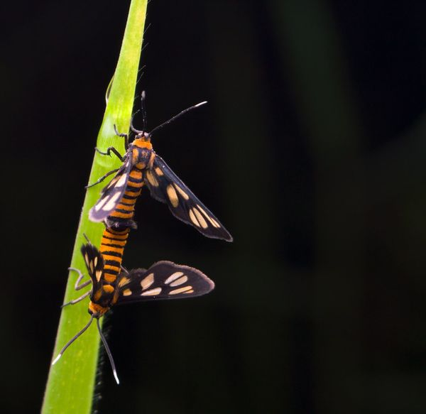 Closeup tiger moth mating. Closeup Colorful Wildlife Wild Fauna Insect Mating Tiger Moth Insect Animal Themes Animals In The Wild One Animal Leaf Animal Wildlife No People Day Nature Outdoors Close-up Butterfly - Insect Full Length Damselfly Perching Fragility