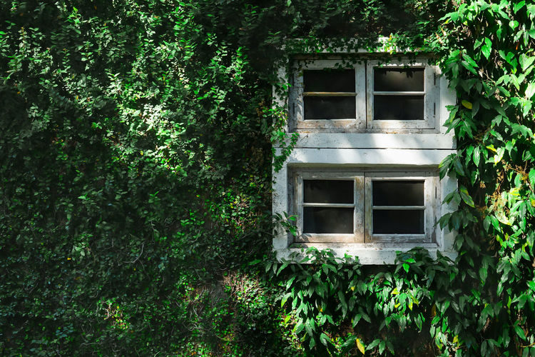 Beautiful window on green wall with climbing plant Plant Built Structure Architecture Growth Window Building Building Exterior Green Color No People Plant Part Leaf House Ivy Nature Abandoned Day Tree Creeper Plant Outdoors Residential District