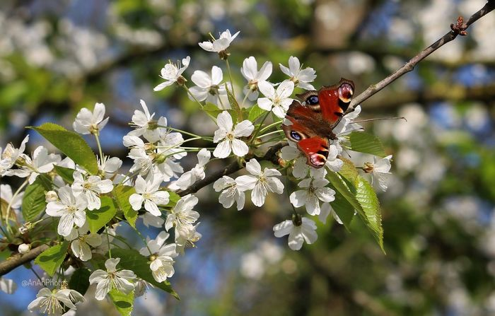 Butterfly Insect Photography Butterfly On Flower Treeblossoms Branch Focus On Foreground White Color EyeEm Nature Lover Flowers,Plants & Garden Catch The Moment Spring2017 Springtime Beauty In Nature Nature Close-up Butterfly - Insect Insect Outdoors