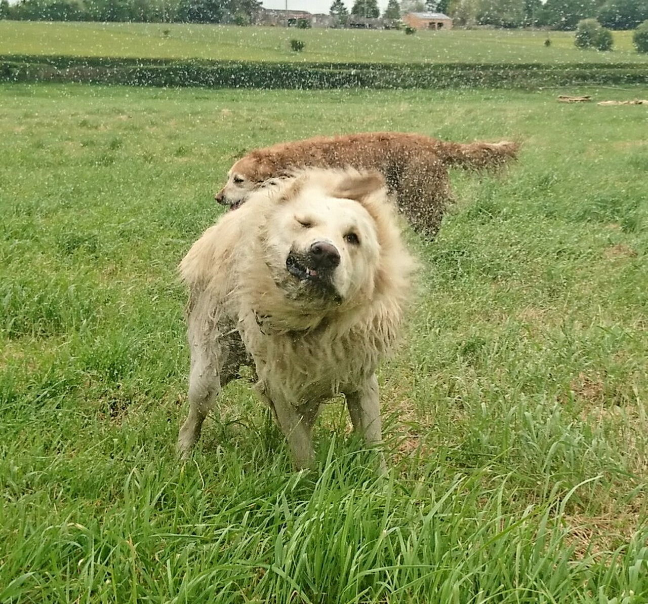 dog, grass, animal themes, domestic animals, field, pets, one animal, mammal, growth, green color, outdoors, day, no people, nature, rural scene