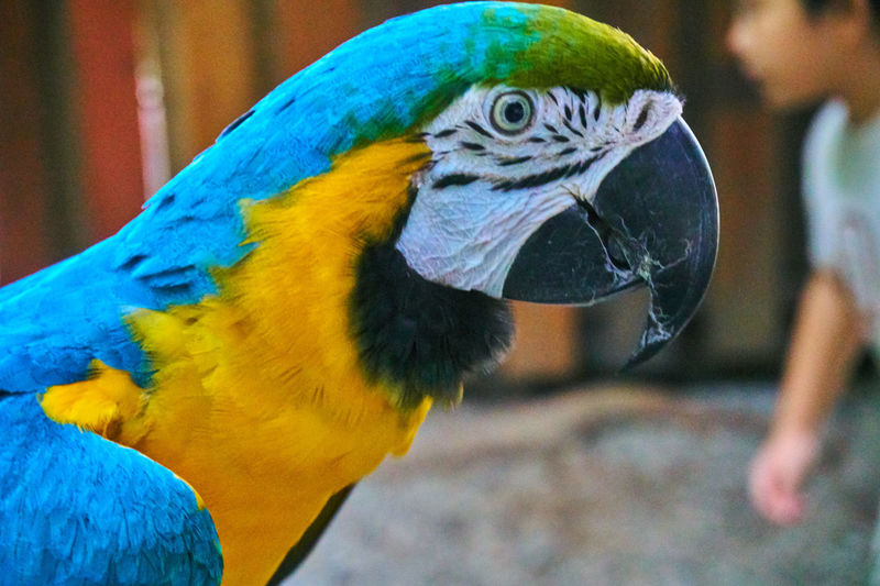 BLUE & YELLOW MACAW Blue Yellow Macaw Animal Themes One Animal Bird Parrot Animals In The Wild Close-up Gold And Blue Macaw Blue Animal Wildlife Outdoors Day No People Nature Multi Colored Wildlife & Nature Wildlife Nature Wildlife Photography Fresh On Eyeem  Nature Photography Bird Feathers