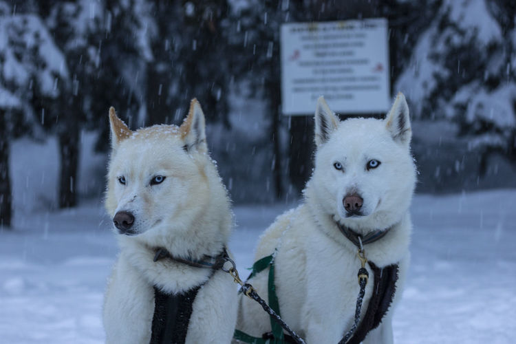 White dogs in snow