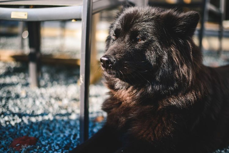 Beauty 😍 Dog One Animal Pets Domestic Animals Mammal Outdoors Animal Themes Close-up Eurasier Day No People EyeEm Selects