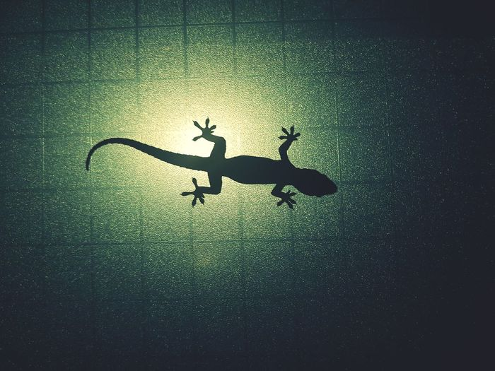 Lizard on the glass. Lizard Night Adhesion UnderSea Water Underwater Silhouette Sea Life
