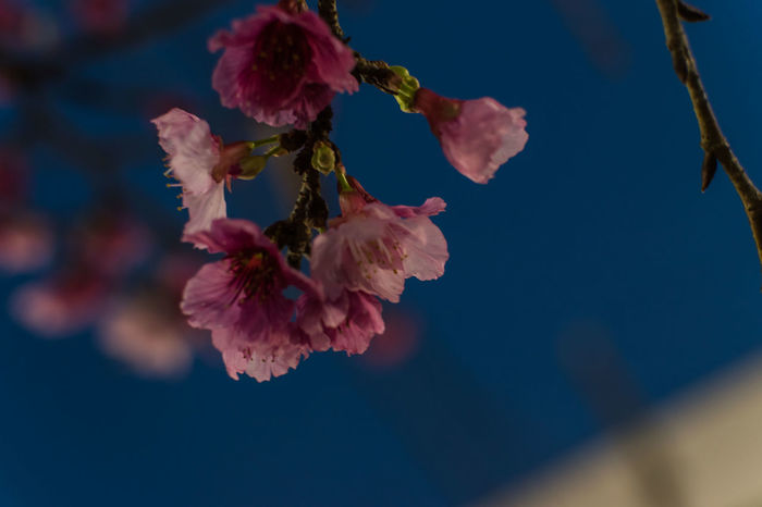 Sakura Cherry Blossoms Cherry Tree EyeEm Selects Flower Beauty In Nature Fragility Nature Close-up Flower Head Pink Color No People Outdoors Day Freshness Water