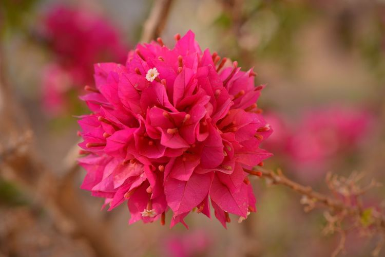 Bougainvillea Flowering Plant Flower Plant Vulnerability  Fragility Freshness Beauty In Nature Close-up Petal Pink Color Growth Flower Head Nature Day Blossom Springtime