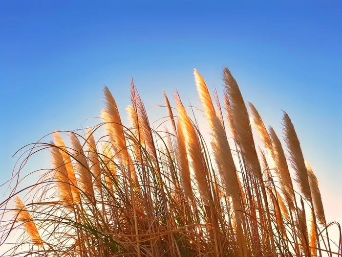 Low angle view of stalks against clear blue sky