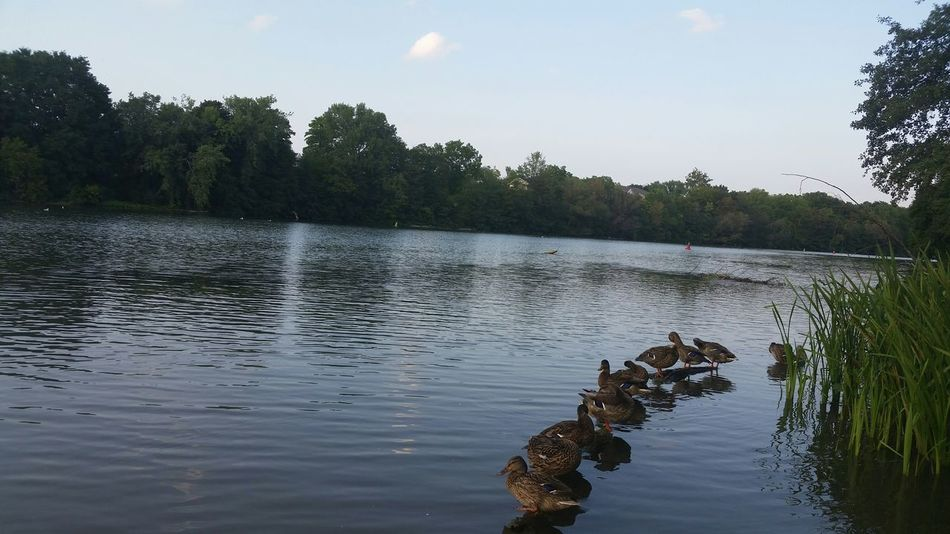 Ducks Genesee Riverside