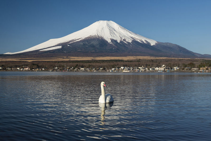 Swan swimming on lake against snowcapped mountain