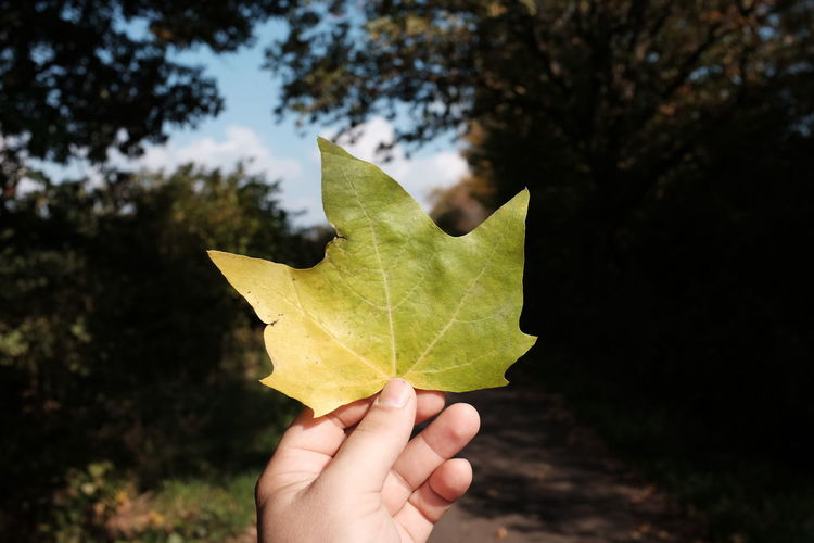 Cropped Hand Holding Maple Leaf Against Trees During Autumn