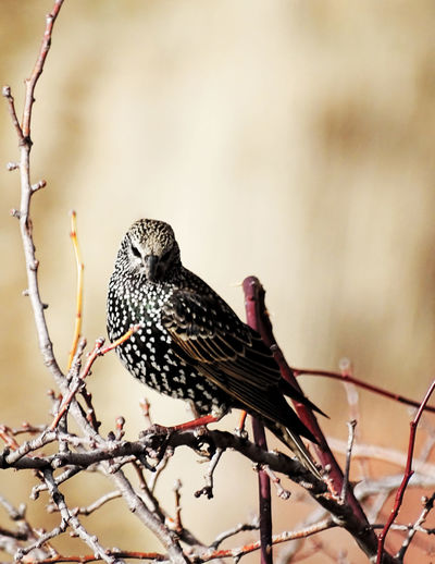 Starling perching on dried plants
