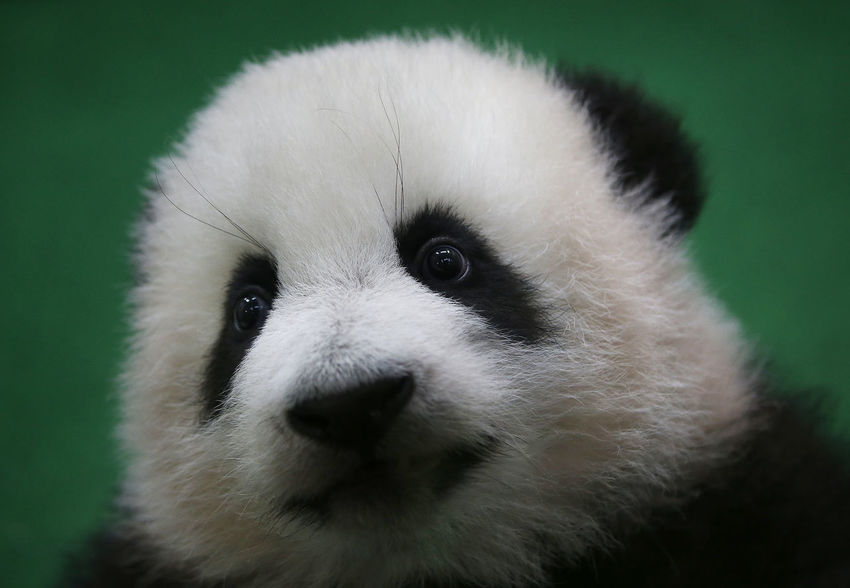 Animal Animal Body Part Animal Head  Animal Themes Animal Wildlife Animals In The Wild Bamboo - Plant Bear Close-up Focus On Foreground Front View Giant Panda Looking At Camera Mammal No People One Animal Panda - Animal Portrait Vertebrate Whisker White Color