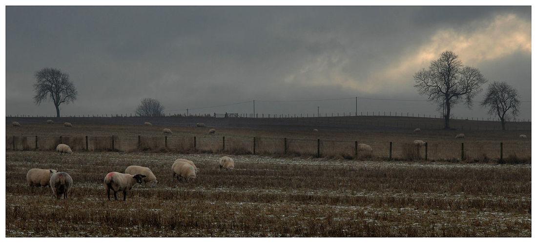 Large Group Of Animals Nature Sky Outdoors Kirriemuir Countryside Cloud - Sky Sheep feeding Farm Skylight