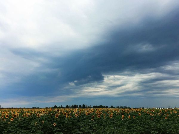 Field Nature Agriculture No People Sunflower Rainy Days Cloud - Sky Outdoors EyeEm Itsarainyday Country Life