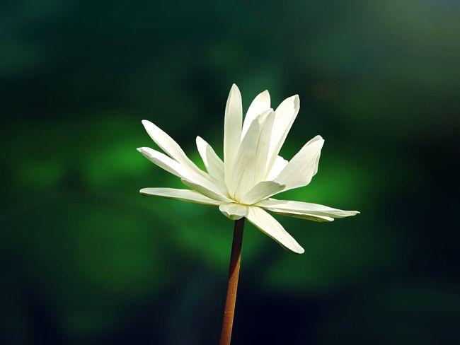 EyeEm Nature Lover Tadaa Community Sunshine Flowers Lotus Lotus Flower