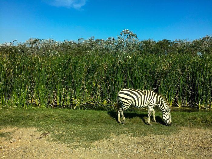 Zebra standing on field against sky