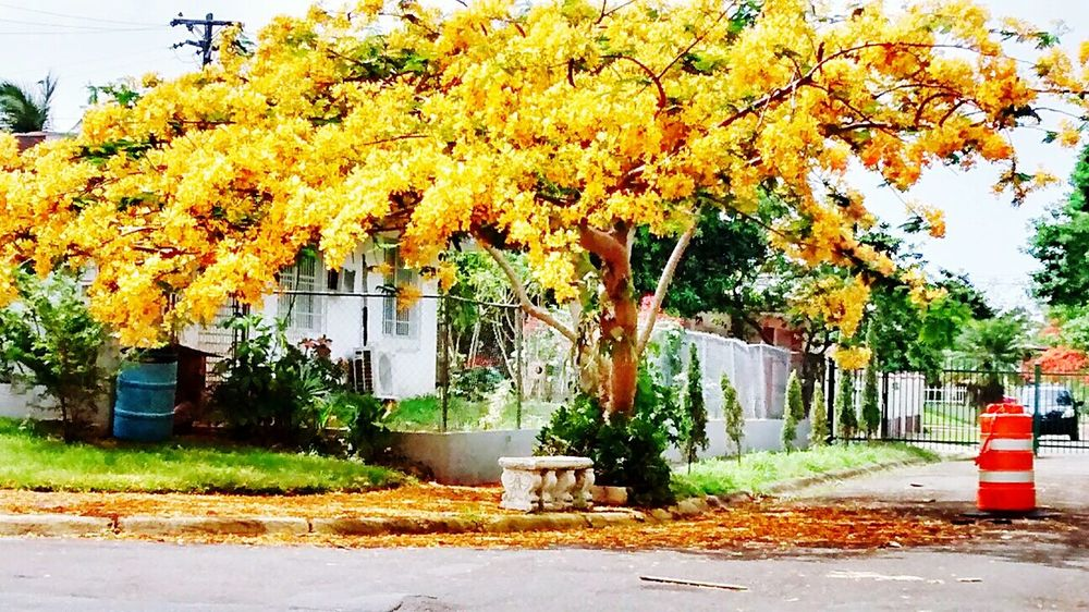 Beauty In Nature Outdoors No People Growth Flamboyan Tree