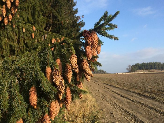 Spruce Spruce Trees Cone Trees Coniferous Autumn Autumn Colors Nature Pine Trees Conifer  Farmland Farm Life Farm Uppsala, Sweden Ulva Kvarn Hay