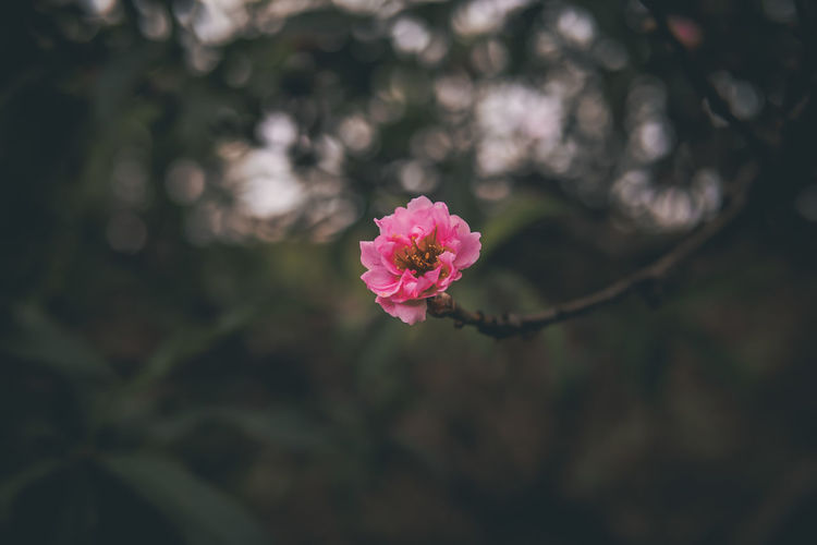 only one. EyeEm Best Shots EyeEm Selects EyeEmNewHere Market Lifestyles Goodvibes Summer Backpacking Flower Head Flower Springtime Pink Color Petal Blossom Close-up Plant Landscape Cherry Blossom Flowering Plant In Bloom Botanical Garden Plant Life Cosmos Flower
