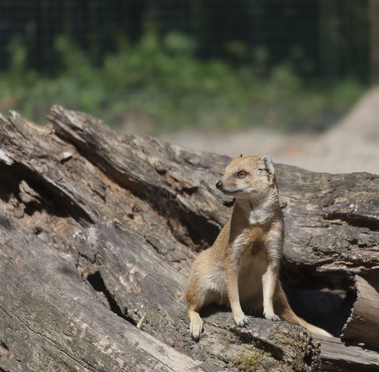 Yellow Mongoose sitting on driftwood - Cynictis penicillata Africa Animal Animal Themes Animal Wildlife Animals In The Wild Arid Climate Barren Camouflage Cute Cynictis Penicillata Desert Driftwood Front View Full Length Mammal Meerkat Mongoose No People One Animal Outdoors Sitting Tree Trunk Wild Wildlife Yellow Mongoose