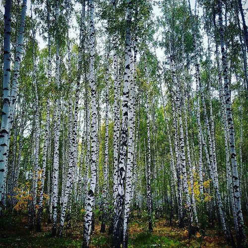 казань веселыестарты2015 базадинамо базамвд Осень2015 октябрь березы березки Природа желтаялиства Asuspadfones
