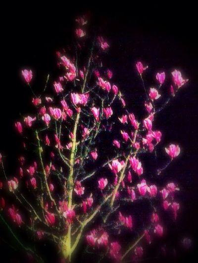 IBlossom At Night